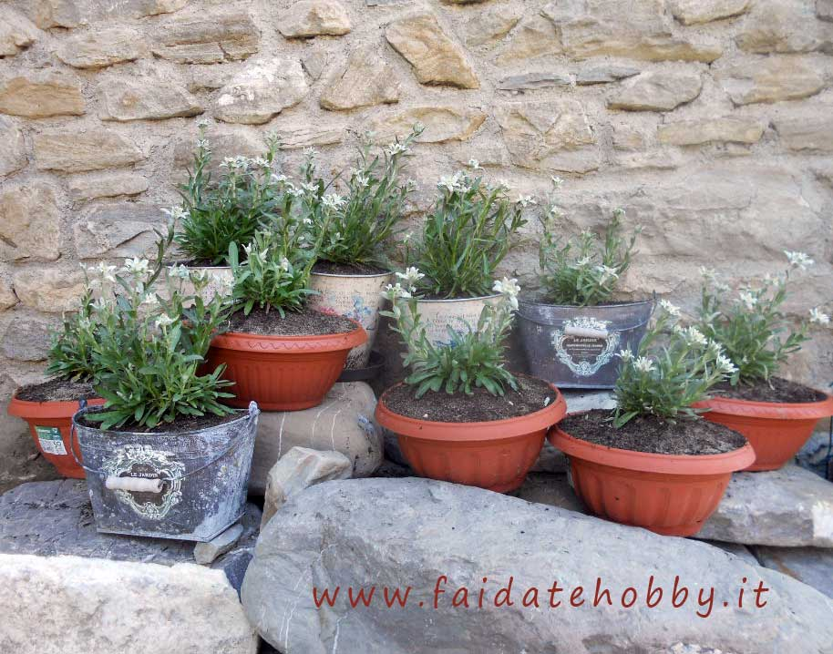 Edelweiss flower: how to grow this beautiful plant